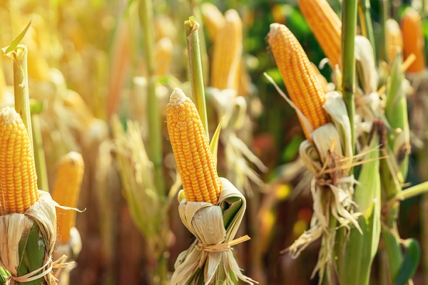 Ethanol fuel is made from renewable resources like corn