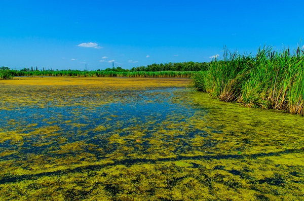 Algae from a swamp can make biodiesel through the oil that can be harvested from it